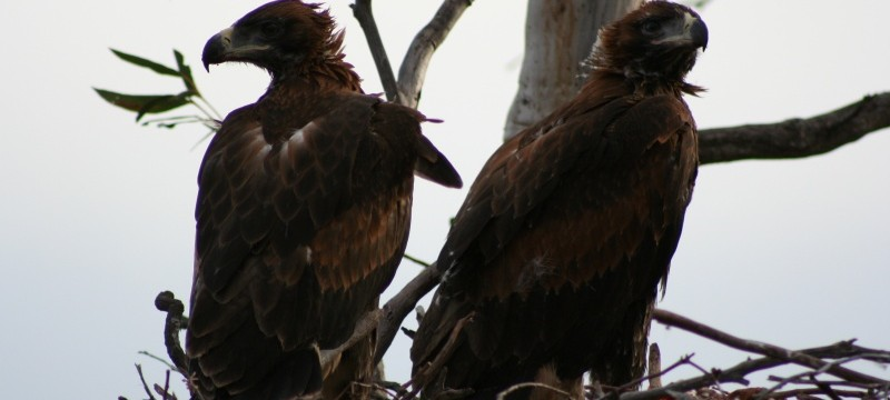 Wedgetail Eaglets eyeing off